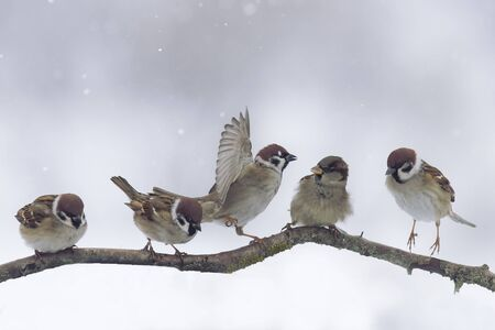 sparrows on a branch in winter Stockfoto
