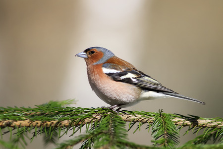 young bird: the young bird is a male Chaffinch sings on the branches of spruce in early spring in the Park