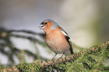 sings: the young bird is a male Chaffinch sings on the branches of spruce in early spring in the Park