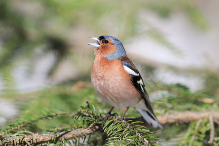 the bird is Chaffinch singing in the forest in spring in April