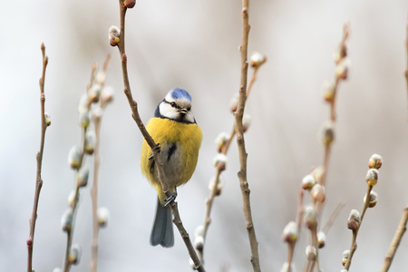 tit bird: beautiful little blue tit bird singing a song on a fluffy willow in early spring in the Park