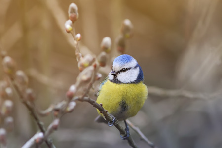 bird song: beautiful little blue tit bird singing a song on a fluffy willow in early spring in the Park