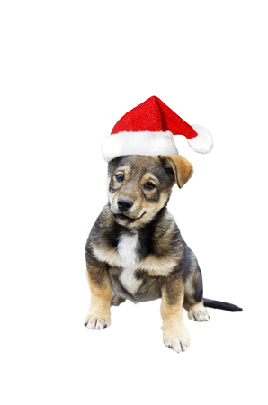 pet new years new year pup: funny cute puppy in Christmas cap on a white isolated background Stock Photo