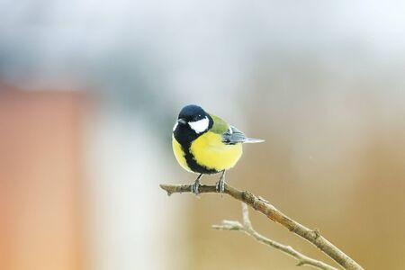 Oiseau de chickadee jaune foncé assis sur une branche