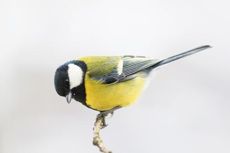 portrait d'une mésange jaune oiseau dodu assis sur une branche