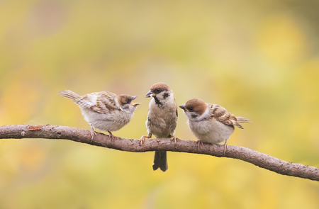 agape: little Chicks and parent Sparrow sitting on a branch little beaks Agape Stock Photo