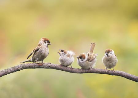 little Chicks and parent Sparrow sitting on a branch little beaks Agape Standard-Bild