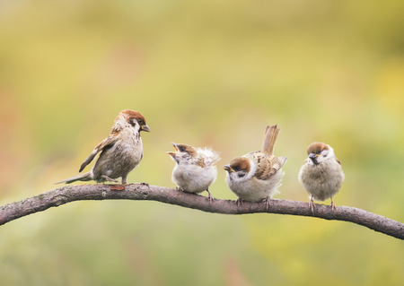 little Chicks and parent Sparrow sitting on a branch little beaks Agape Stockfoto