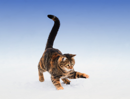 Fun striped kitten playing with snow in winter on the street