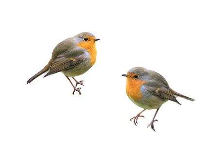 Twee kleine vogels Robins op een witte geïsoleerde achtergrond