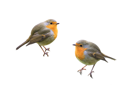 two little birds Robins on a white isolated background Standard-Bild