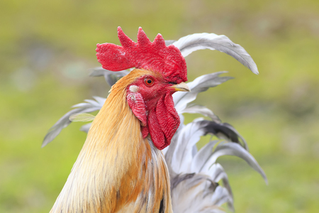 portrait of a bright red rooster with red comb on green grass