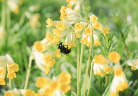humilde: abejorro recoge néctar de flores de color amarillo brillante de la primavera en el prado Foto de archivo