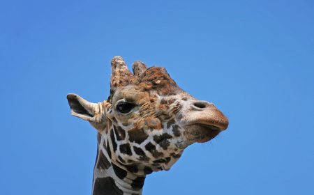 portrait of a funny giraffe head sleep blue sky background Stockfoto