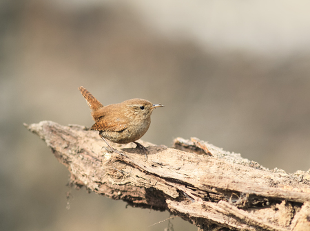 a small bird the Wren is sitting on the root of the tree in the spring in the woods