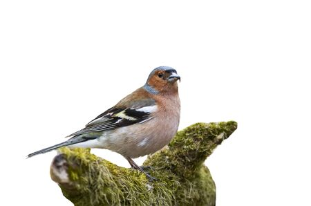 finch: the bird is a Finch standing on a branch with moss on a white isolated background