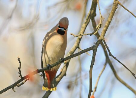 funny bird cherry bird with Pappus sitting on a branch in the forest Stock Photo