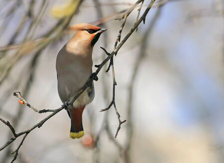 portrait of funny beautiful birds waxwings sitting on a branch