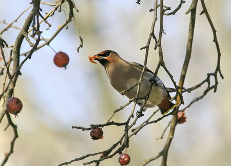 bird of the Waxwing eating the frozen apples in the Park Stock Photo