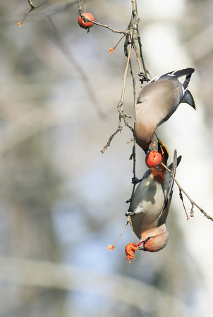 a pair of birds waxwings eating apples in the Park sitting on a branch Stock Photo