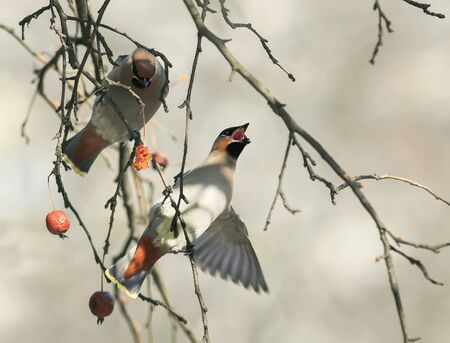 birds funny waxwings eating apples in the Park wide open beak Stock Photo