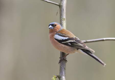 portrait birds Chaffinch on a branch in the forest Stock Photo