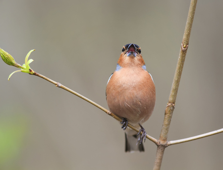 the male birds of the Finch sings in the woods surrounded by young leaves