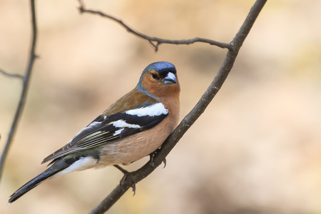 the portrait of a bird Chaffinch in spring on a Sunny day