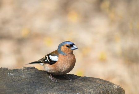 portrait birds Chaffinch on a tree stump on a Sunny day