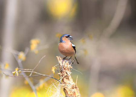 soloist: bird Chaffinch sings the song while standing on a stump in the forest