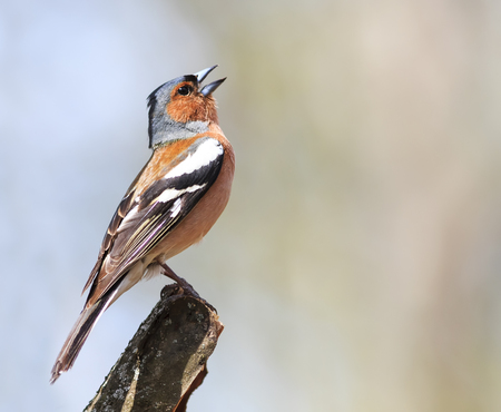 spring bird Chaffinch sings the song standing on a branch