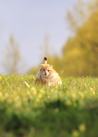 funny happy red cat lying on green grass on meadow