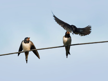 the bird is the swallow flew in to feed their young on wires on blue sky background