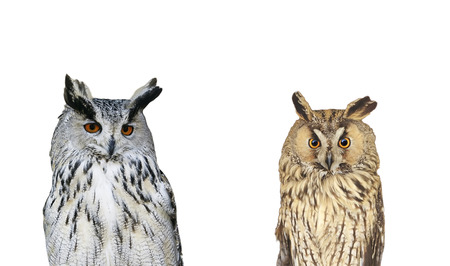 portrait of two birds owls on white isolated background Stockfoto