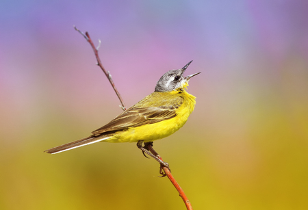 soloist: summer bird is the yellow Wagtail sings while sitting on a Sunny bright meadow