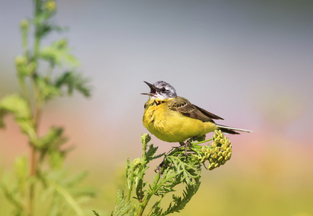 soloist: bird yellow Wagtail sitting on a meadow and leaping colors sings a song in summer