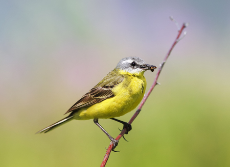 soloist:  bird yellow Wagtail sitting on a meadow with insect in beak