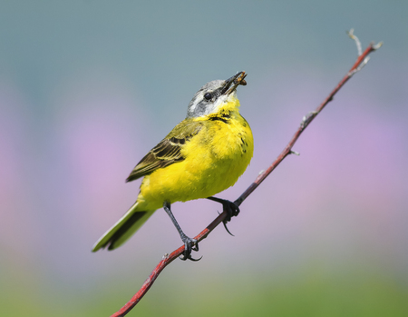 soloist: bird yellow Wagtail sitting on a meadow on a branch with insect in its beak