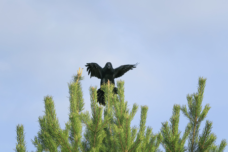 black crow sits on top of a green spruce, and the wing on blue sky background