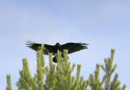 black crow sits on top of a green spruce, and the wing