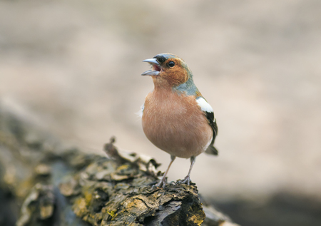 funny spring bird Chaffinch in the Park on a tree and sings