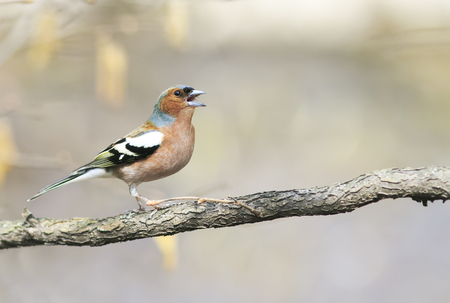 funny bird Chaffinch leaping singing the song in spring Park Stock Photo