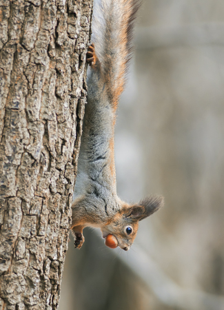 funny furry squirrel climbing tree with nut in his teeth Stock Photo