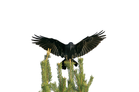 black crow sits on top of a green tree and flaps its wings on white isolated background