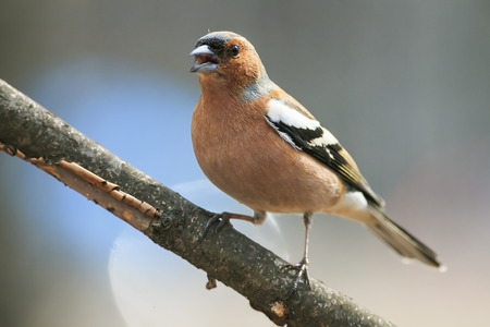 cute spring bird Chaffinch in the Park on a branch and leaping singing Stockfoto