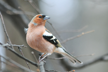 cute spring bird Chaffinch in the Park on a branch  Stock Photo