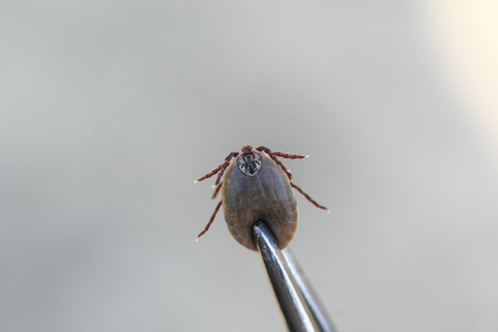 dangerous blood-sucking insect mite pulled out metal tongs