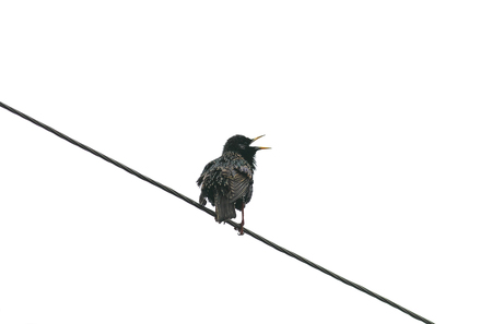 the black bird, the Starling sings standing on the wire spring on white isolated background