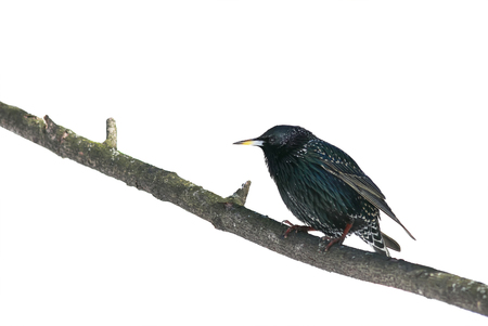 the black bird is a Starling sitting on a branch on white isolated background