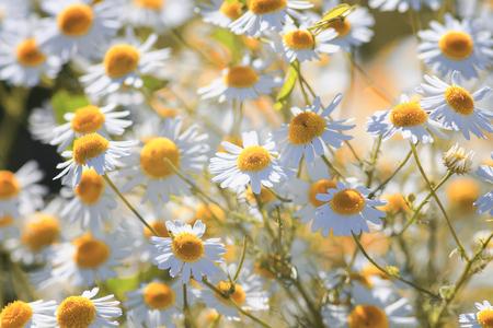 beautiful nature background flower white chamomile